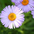 Stock Photo: Blue chamomile