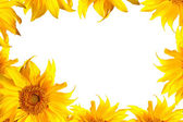 Sunflower on white — Stock Photo