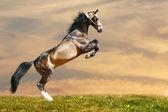 Horse rears — Stock Photo