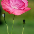 Stock Photo: Crimson poppy