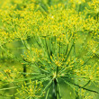 Dill close-up — Foto Stock