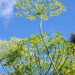 Golden dill close-up — Stock Photo