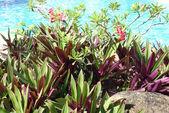 他の-花卉 obesum — ストック写真