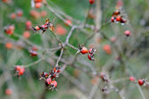 Red wild rose hips — Stock Photo