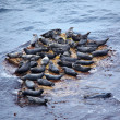 Grey Seal rookery - Stock Photo