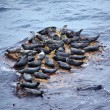 Grey Seal rookery — Stockfoto