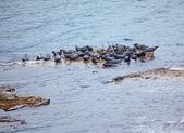 Grey Seal rookery — Stock Photo