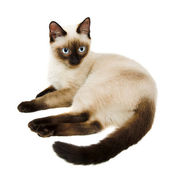 Siamese cat — Stockfoto