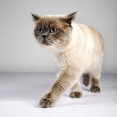 British cat — Stock Photo