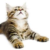Siberian kitten — Zdjęcie stockowe