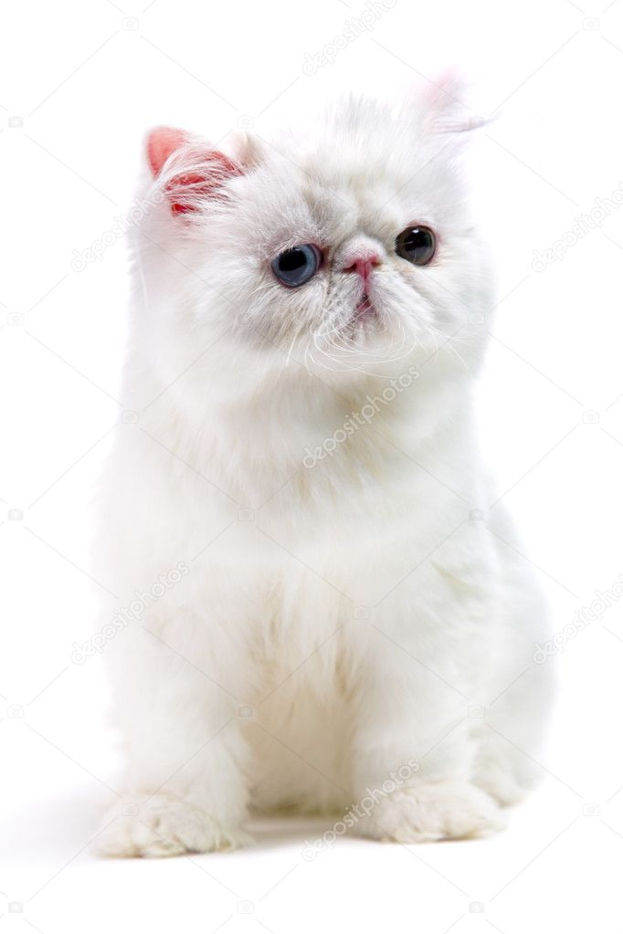 White persian cat isolated on white background  Stock Photo #3793147