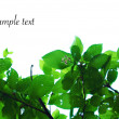 Branches with leaves on white background - Stock Photo