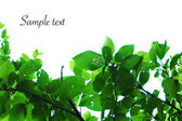 Branches with leaves on white background — Stock Photo