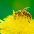 Stock Photo: Bee gathers pollen