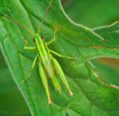 Big green grasshopper on the leaves — Stock Photo