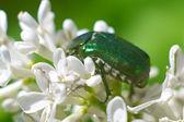 Big green cetonia aurata — Stock Photo