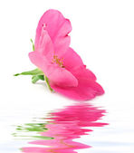 Pink rose flower and reflection — Stock Photo