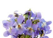 Wood violet — Stock Photo