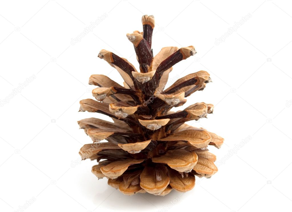 The cone pine on a white background — Stock Photo #2884748