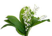 Lilies of the valley — Foto Stock