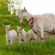 Goats are grazed — Stock Photo #3085968