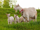 Goats are grazed — Stock Photo