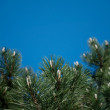 Pine branches - Stok fotoraf