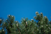 Pine branches — Stock Photo