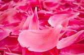 Flower petals — Stock Photo