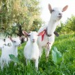 Stock Photo: Goat with kids