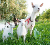 Goat with kids — Stock Photo
