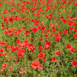 Red poppy — Stock Photo #3258701