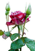 Rose with dewdrops — Stock Photo