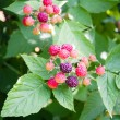 Stock Photo: Nature food - blackberries bunch