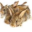 Small grey rabbits — Stock Photo