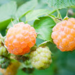 Yellow raspberry — Stock Photo #3353427