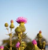 Flower burdock — Stock Photo