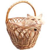 Katt i en korg — Stockfoto