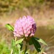 Stock Photo: Clover flower