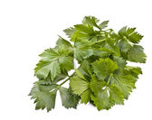 Leaves of celery — Stock Photo
