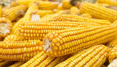 Golden corn — Stockfoto