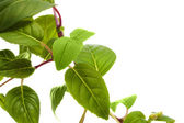 Groene bladeren — Stockfoto
