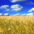 Stock Photo: Wheat and sky
