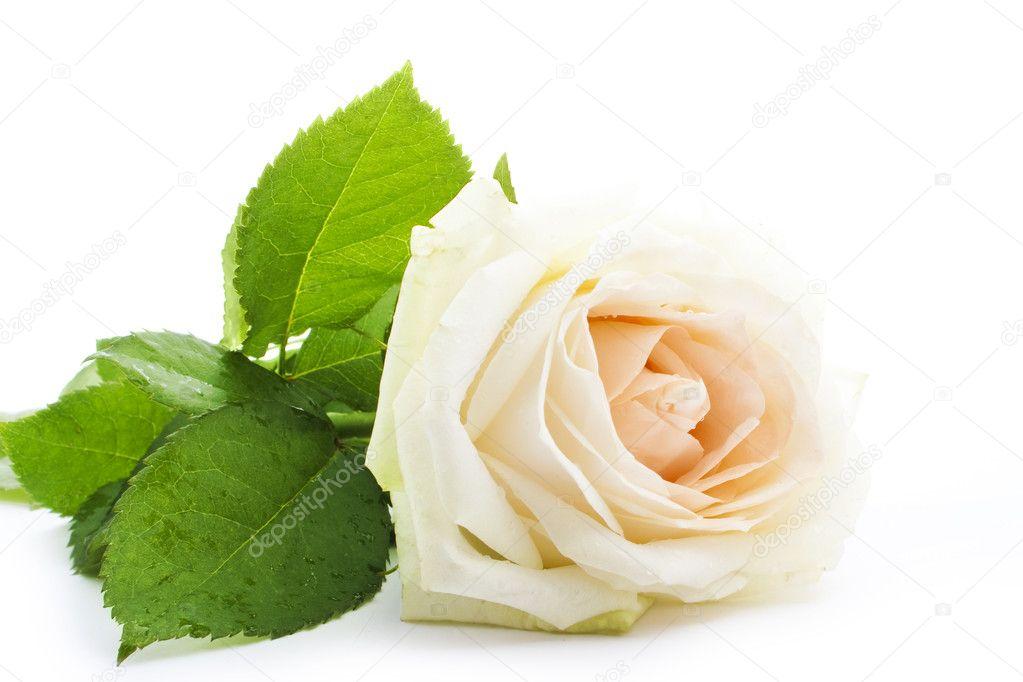 zishy Coco rose