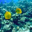 Kızıl Deniz yaban hayatı — Stok fotoğraf