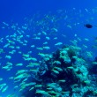Shoal of fish — Stock Photo #2753478