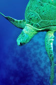 Green sea turtle (Chelonia mydas) — Stock Photo
