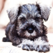 Puppy minischnauzer on the sofa — Stock Photo