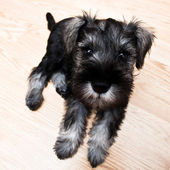 Puppy minischnauzer on the floor — Stock Photo