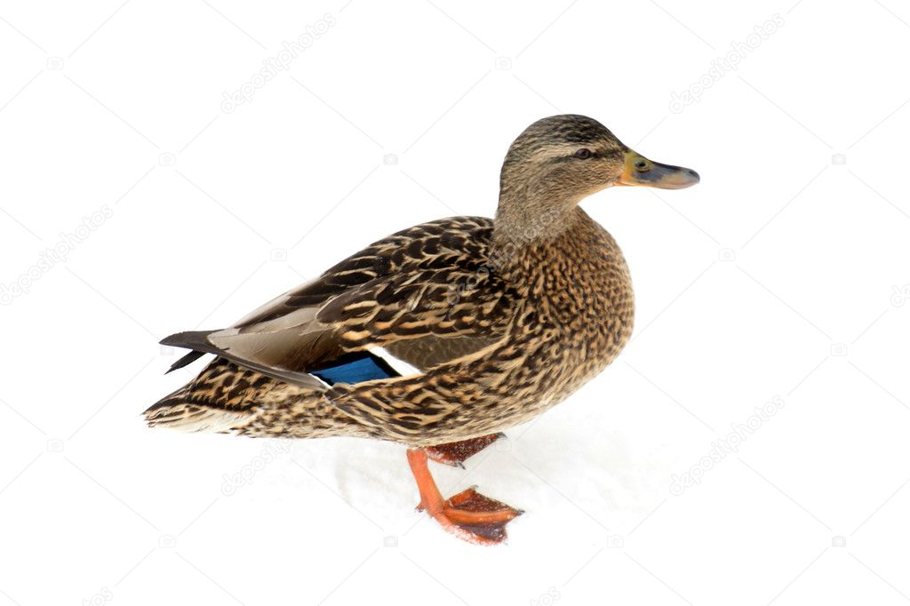 Wild duck stand on the white snow — Stock Photo #3070337